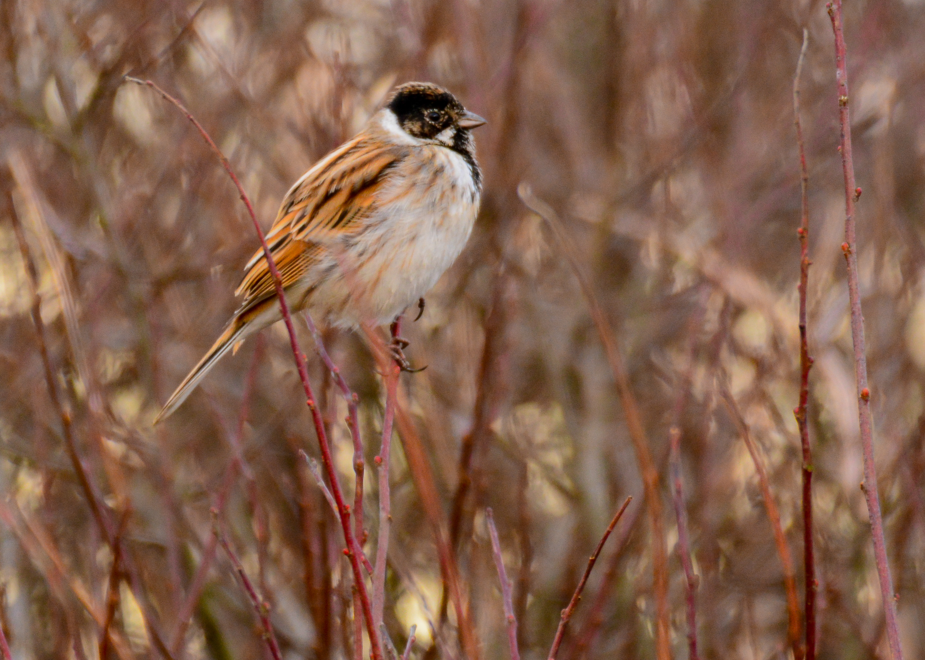 Reed Bunting (Brian Liggins)