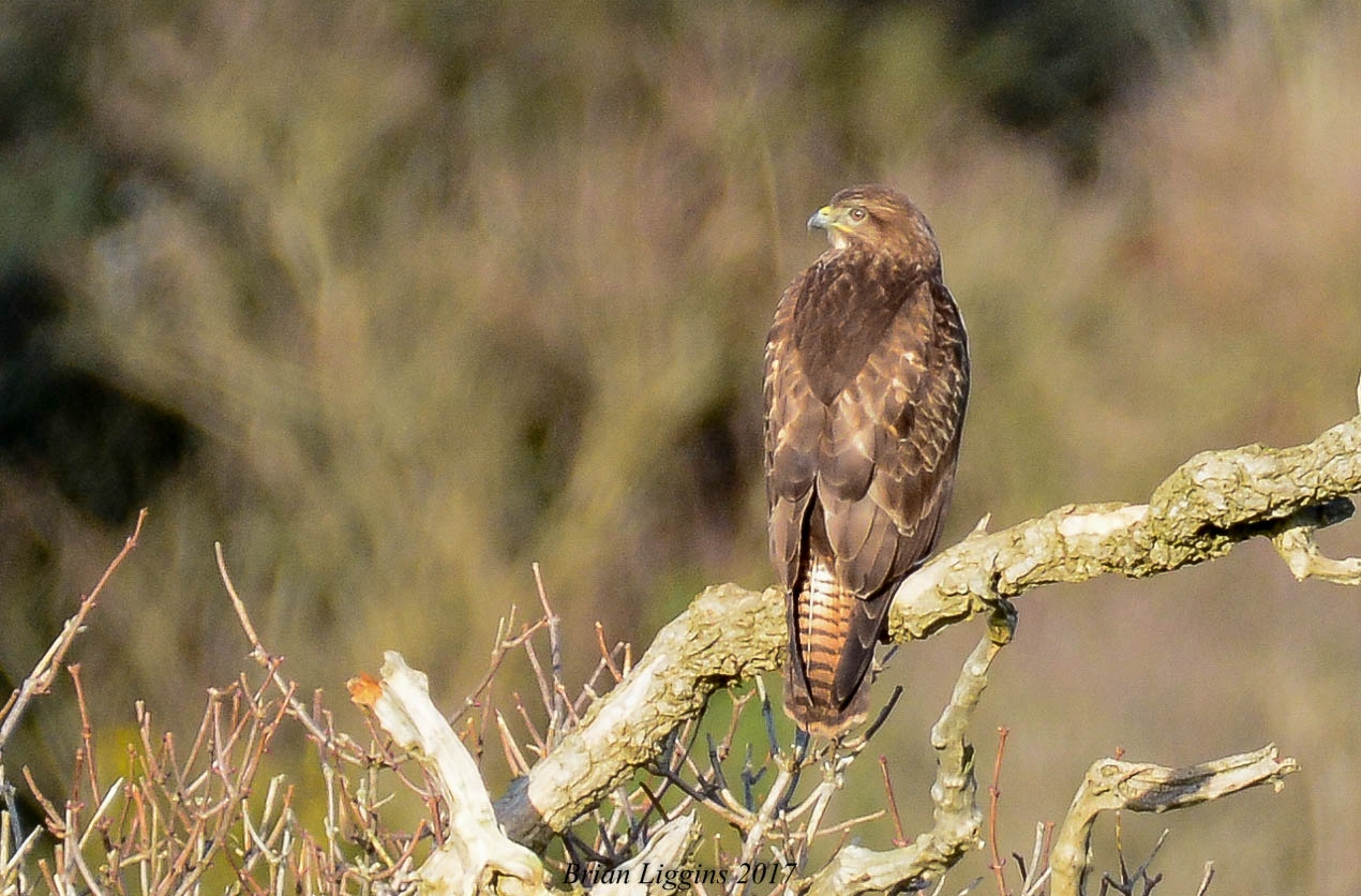 Buzzard (Brian Liggins)