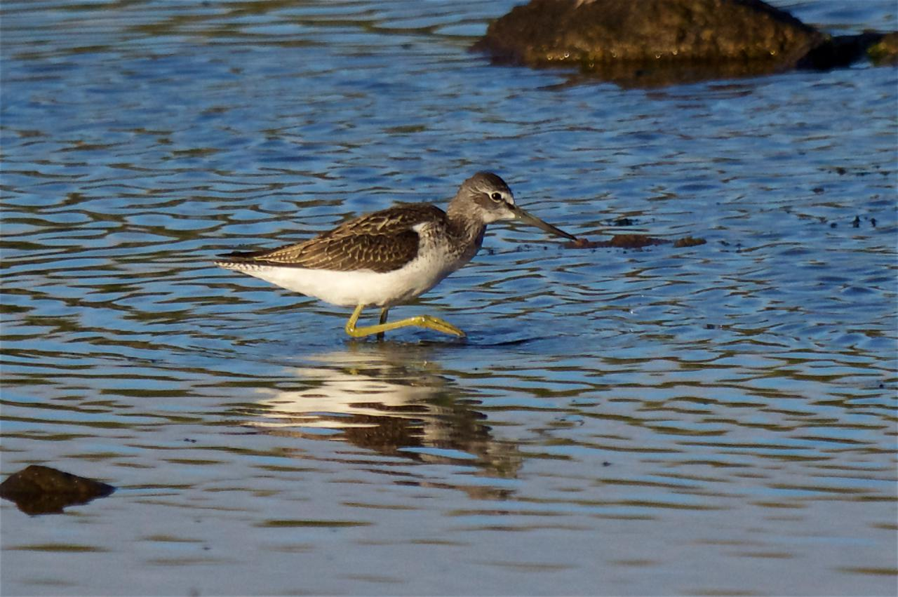 Greenshank (Peter Christian)