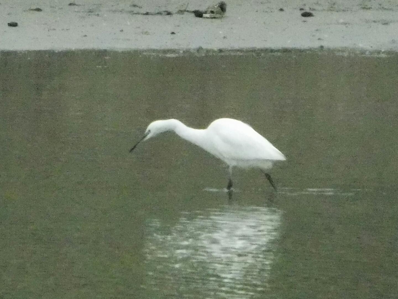 Little Egret (Alexander Shimmin)