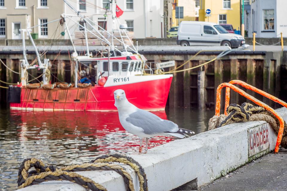 Herring Gull (Carlo Barone)