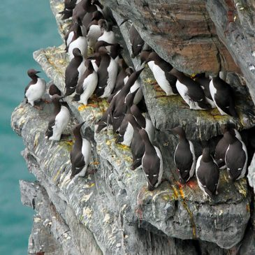 Manx BirdLife seabird census finds worrying declines