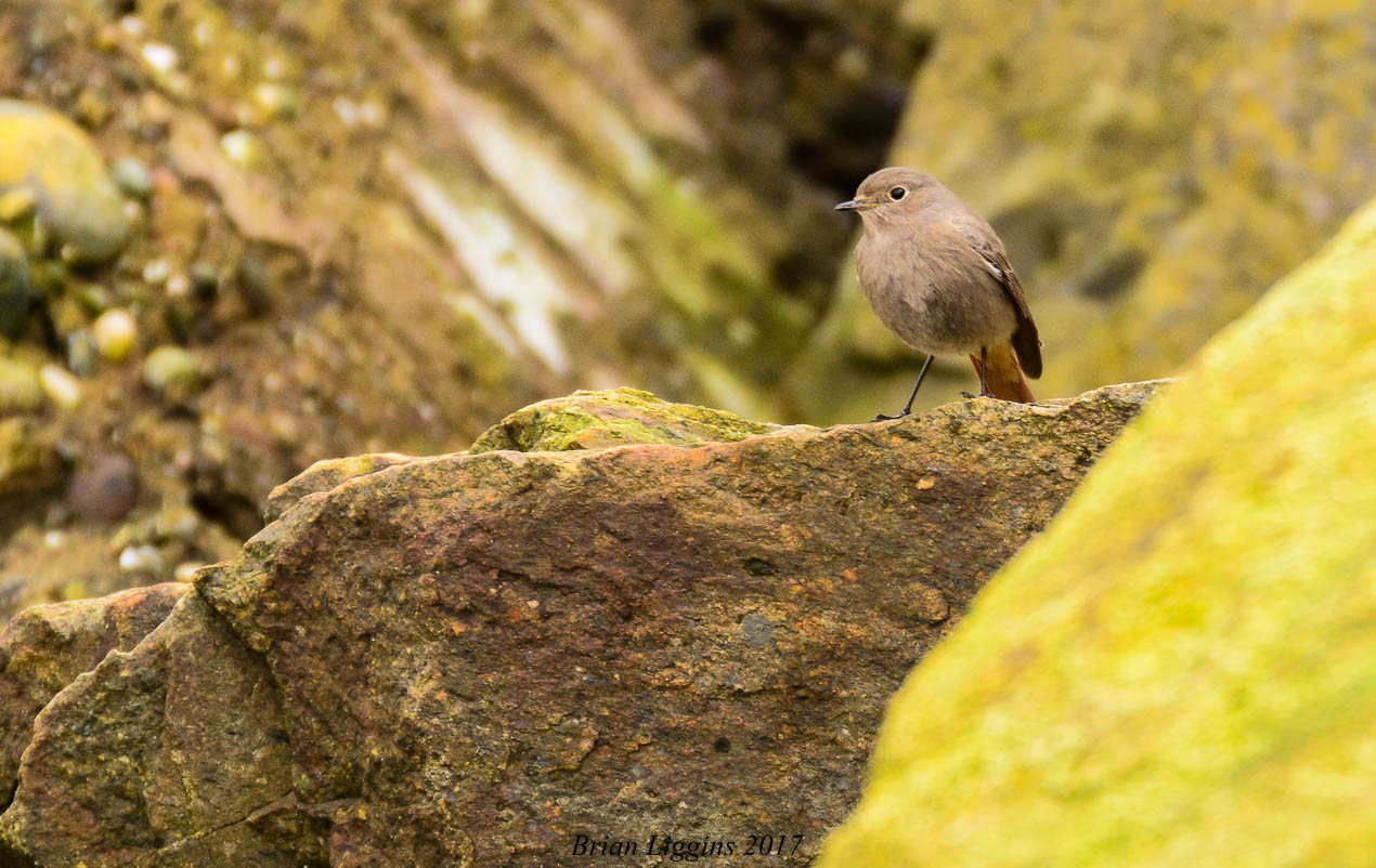 Black Redstart (Brian Liggins)