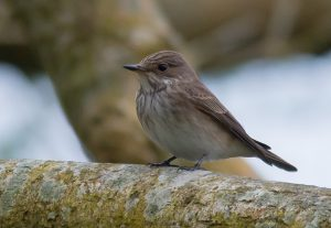 Spotted Flycatcher (Brian Liggins)