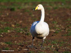 Whooper Swan (Pauline & Michael Howland)