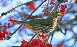 Song Thrush (John Donnelly)