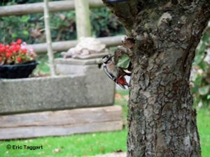 Great Spotted Woodpecker (Eric Taggart)