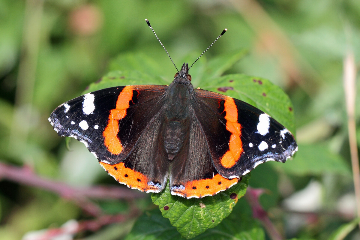 Red Admiral (Neil G Morris)