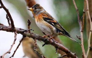 Brambling (John Donnelly)