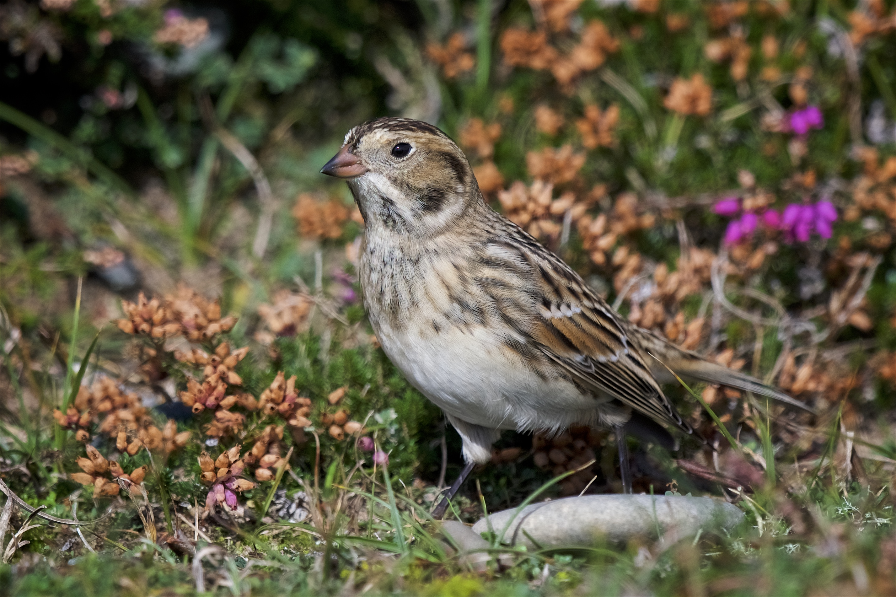 Lapland Bunting (Peter Christian)