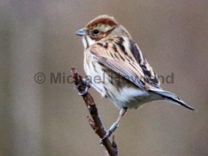 Reed Bunting (Pauline and Michael Howland)