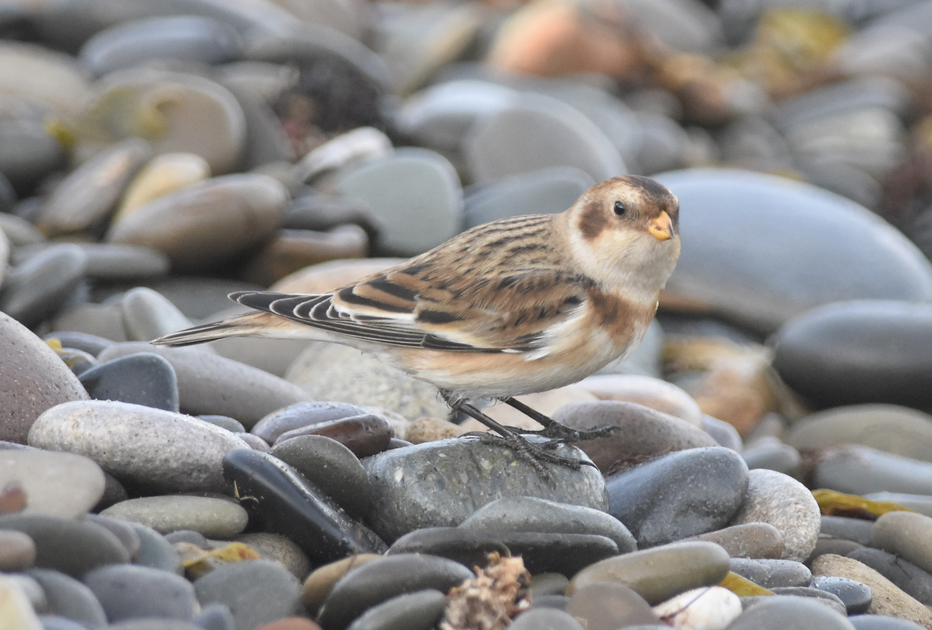 Snow Bunting (Michael Coupe)