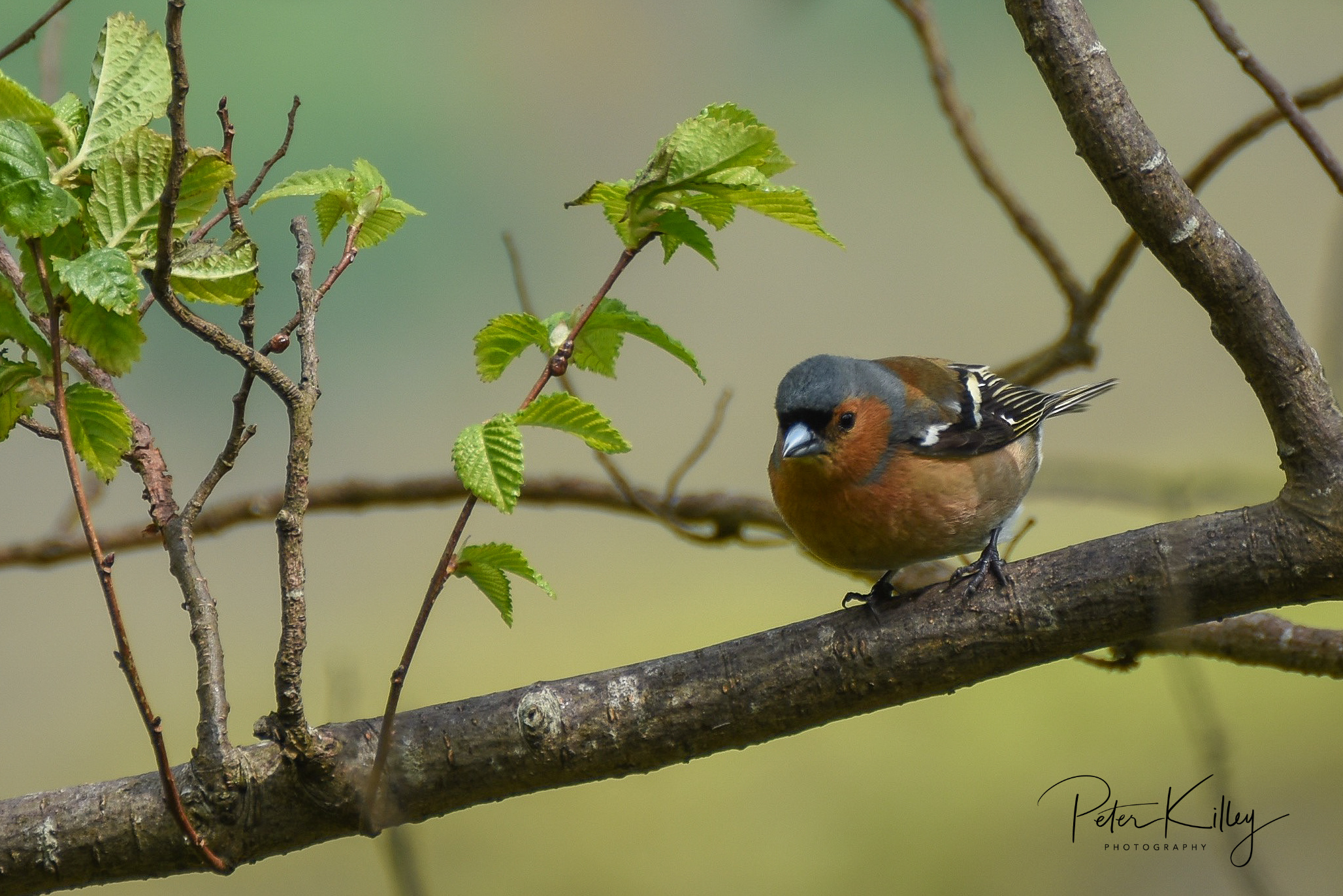 Chaffinch (Peter Killey)