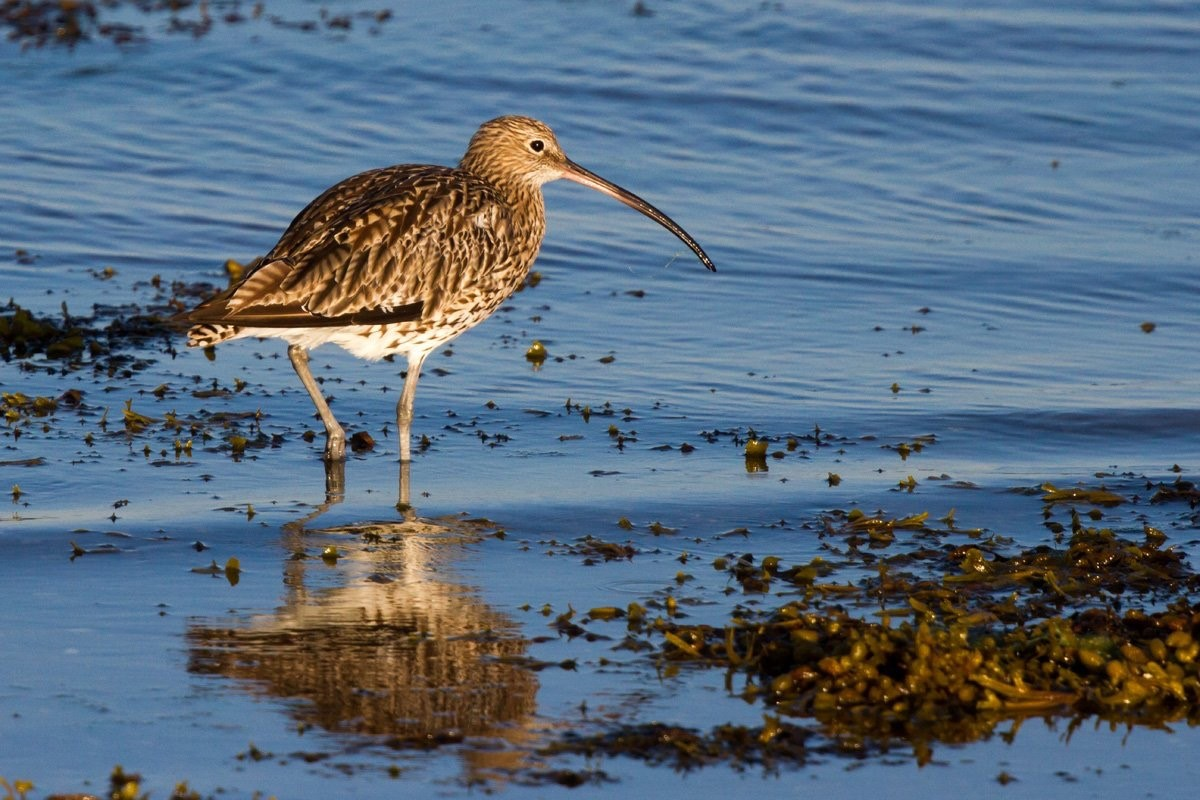 Curlew (Neil G Morris)