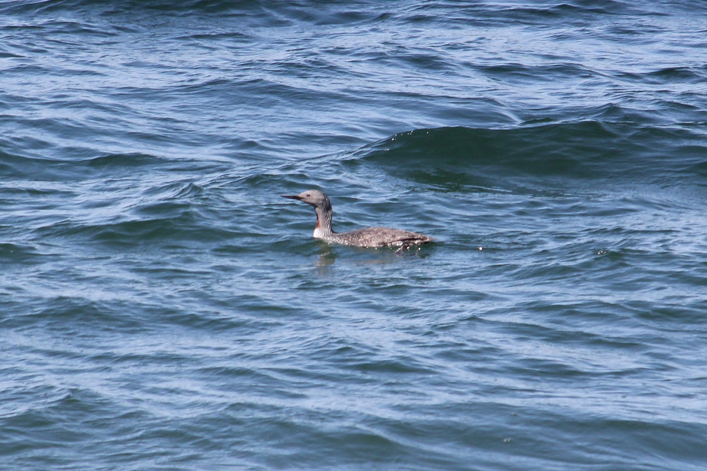 Red-throated Diver (Mark Harris)