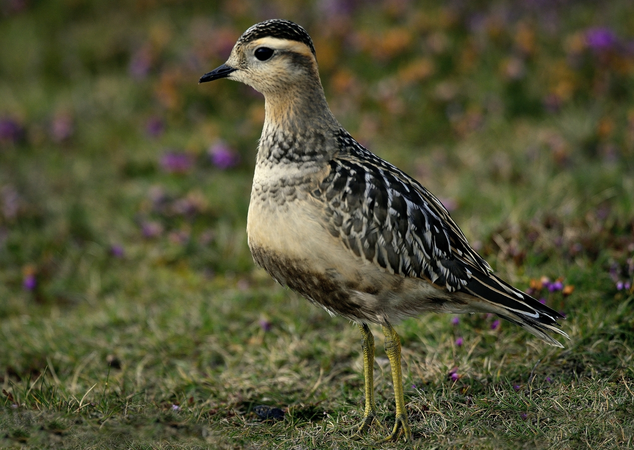Dotterel (B Callow)