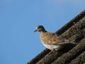 Turtle Dove (Matt Dawson)