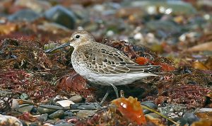 Dunlin (John Donnelly)