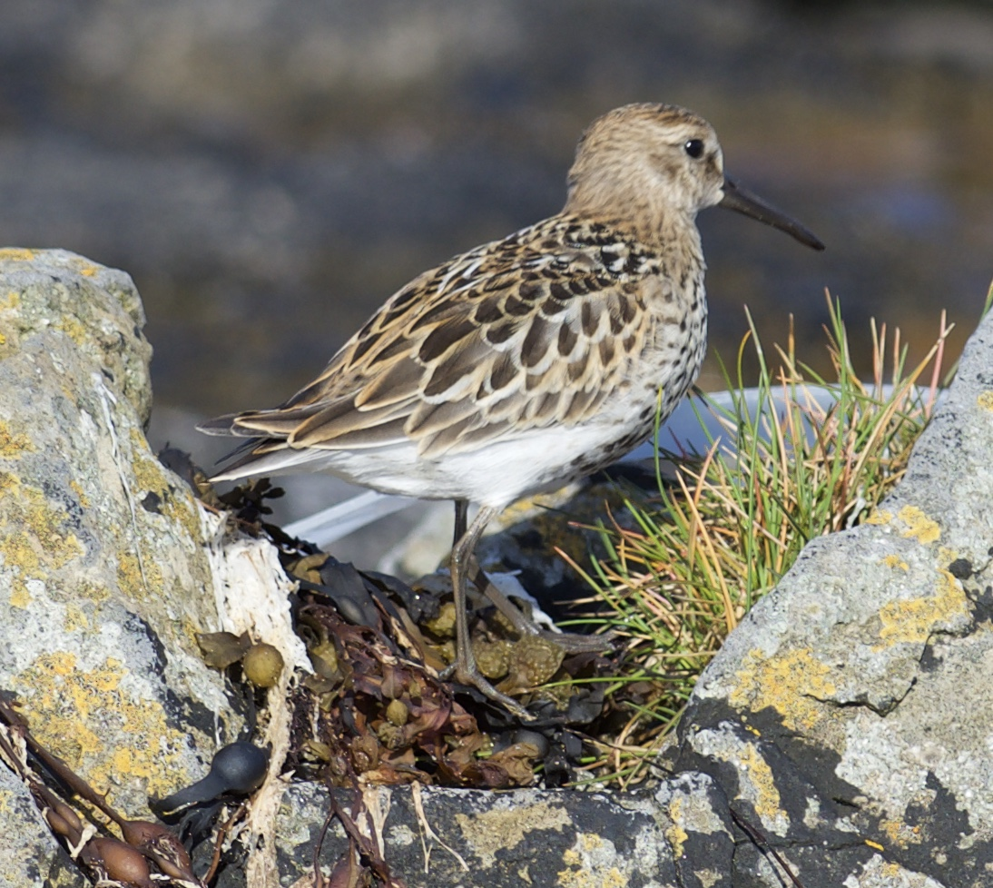 Dunlin (Michael Coupe)