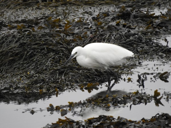 Little Egret (Carl Hadfield)