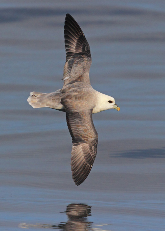 Northern Fulmar (© Neil G. Morris)