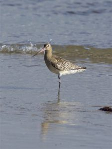 Bar-tailed Godwit (Peter Christian)