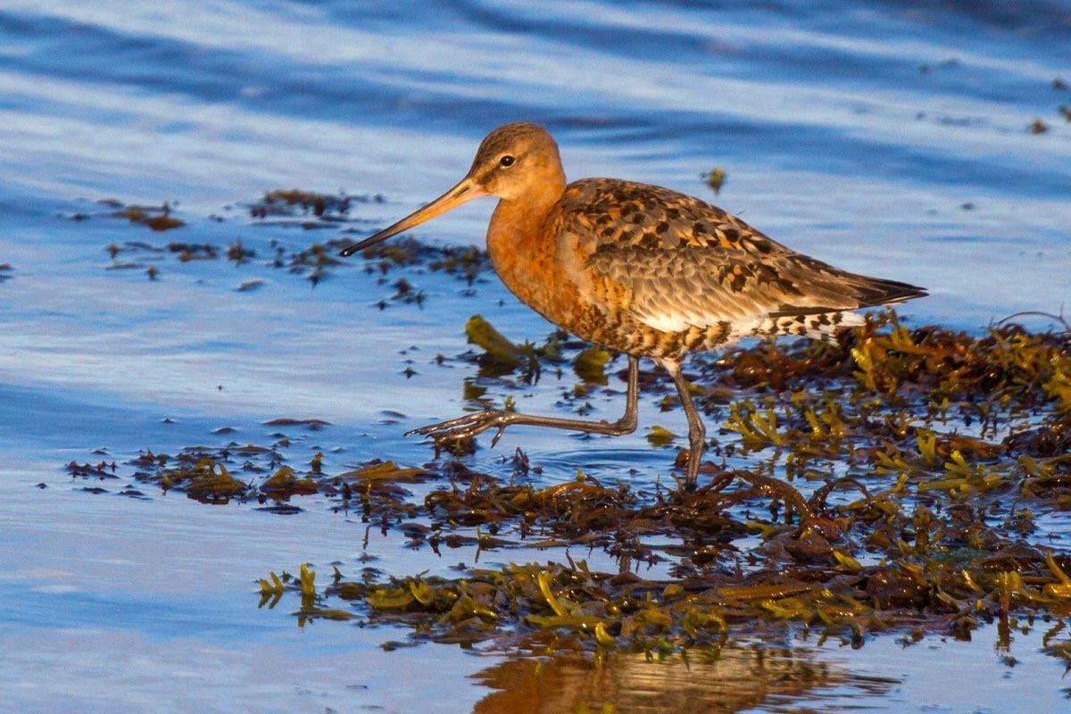 'islandica' Black-tailed Godwit (Neil G Morris)