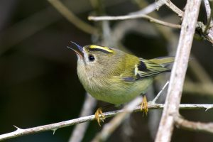 Goldcrest (Peter Christian)