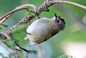 Goldcrest (John Donnelly)