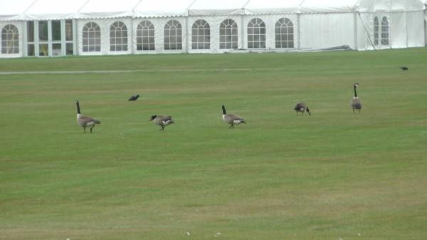 Canada Geese (Carl Hadfield)