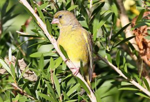 Greenfinch (John Donnelly)