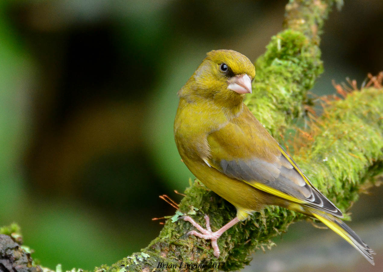 Greenfinch (Brian Liggins)