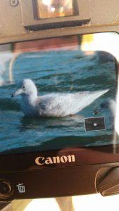 Kumlien's/Iceland Gull (Adam Denard)