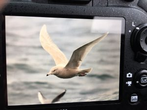 Glaucous Gull (Peter Christian)