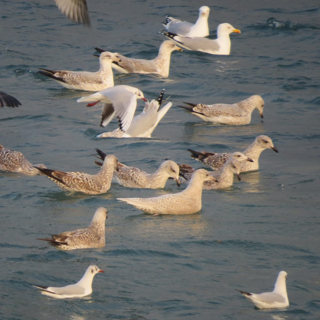 Iceland Gull (Brian Kelly)