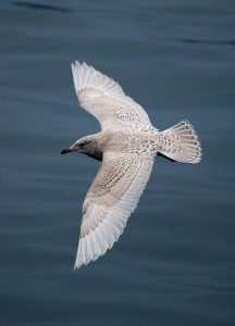 Iceland Gull (John Donnelly)