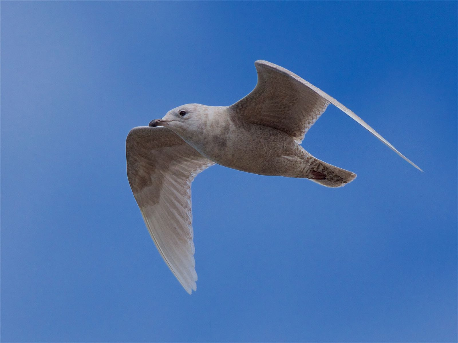 Iceland Gull (Peter Christian)