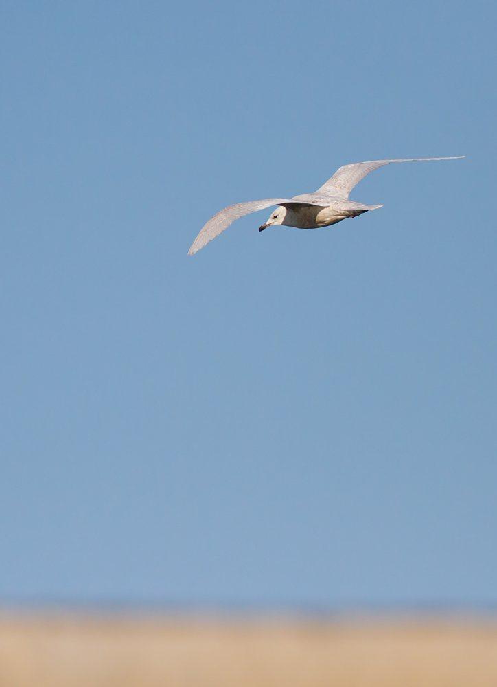 Iceland Gull (Neil G Morris)
