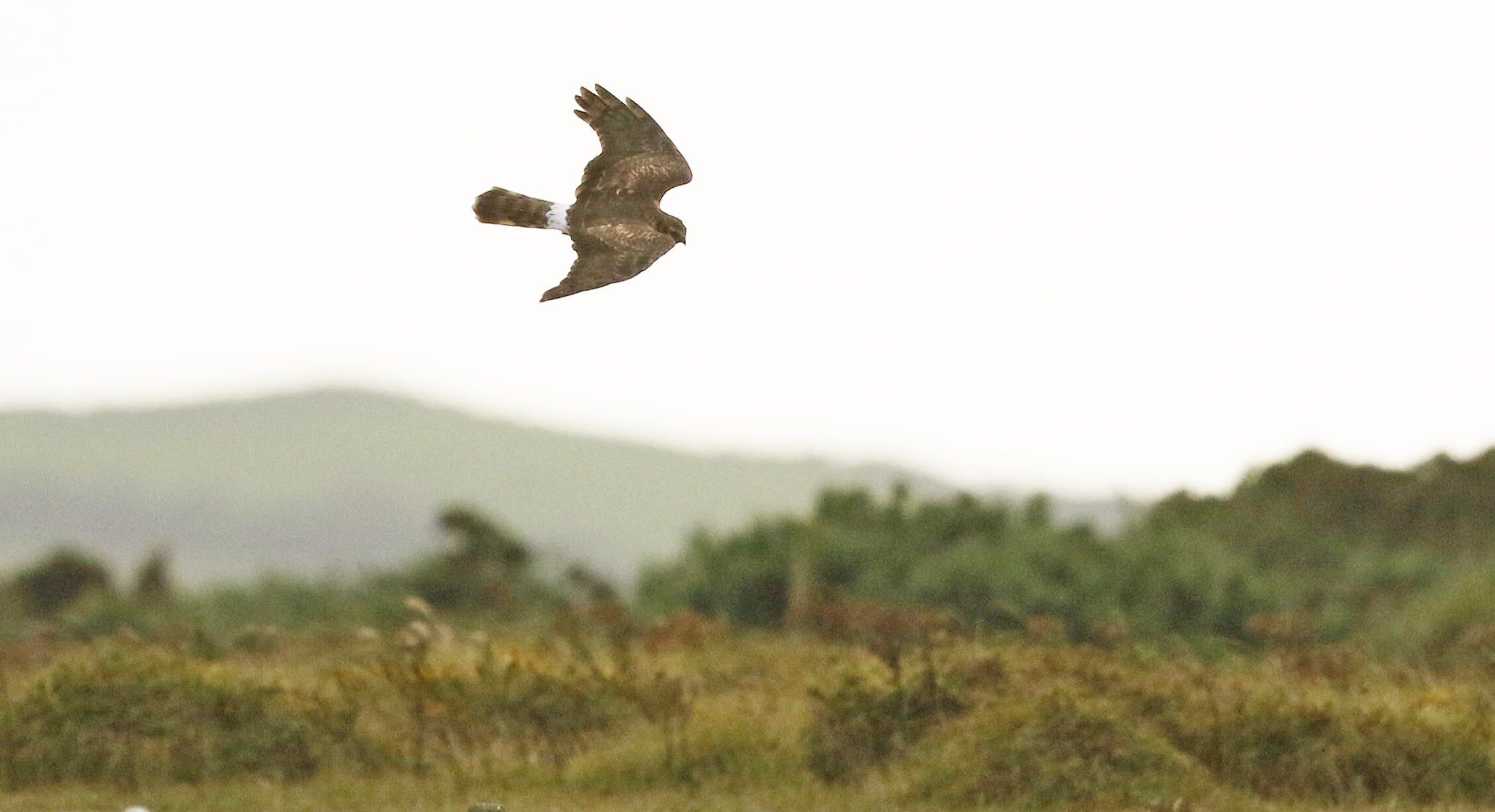 Hen Harrier (Guy Broome)