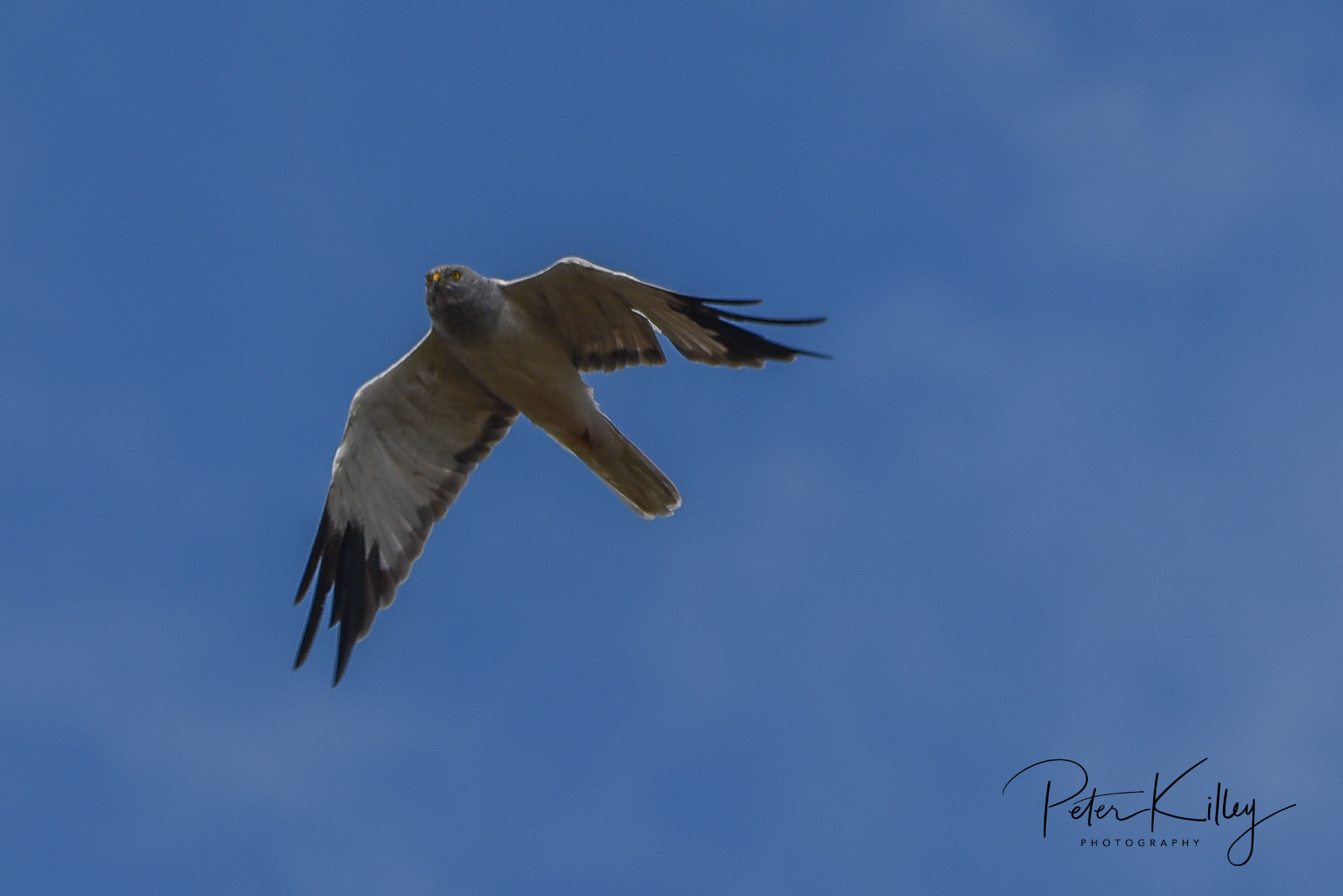 Hen Harrier (Peter Killey)