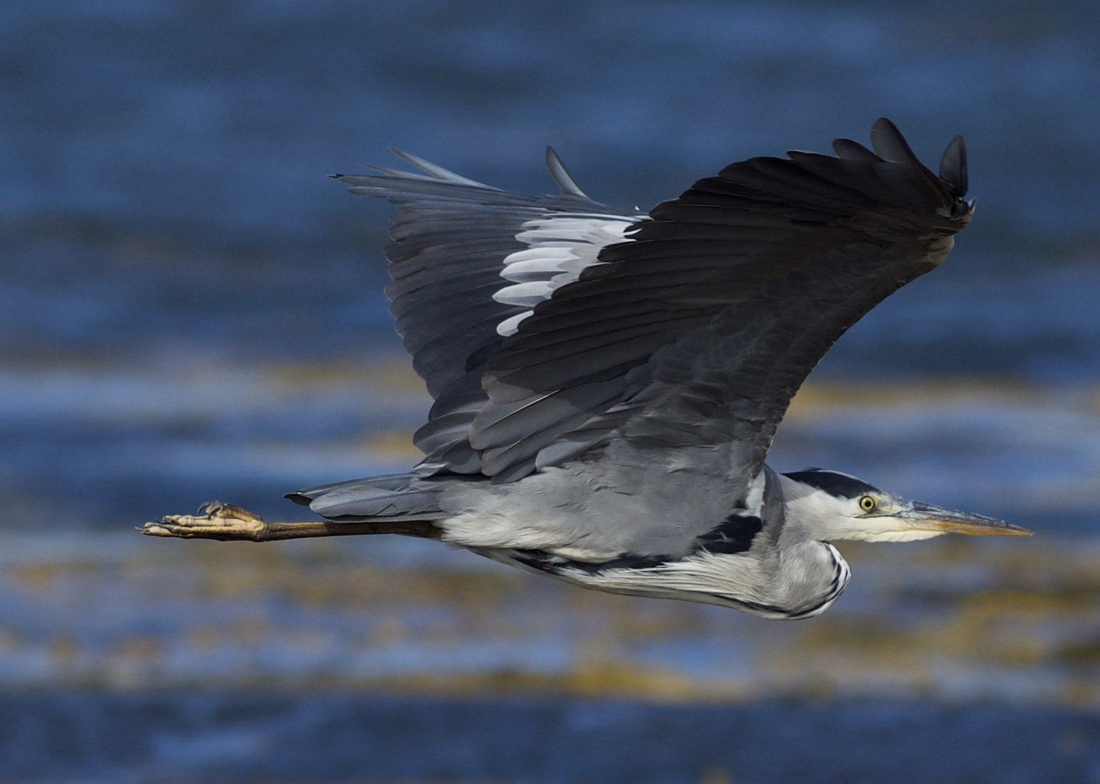 Grey Heron (Michael Coupe)
