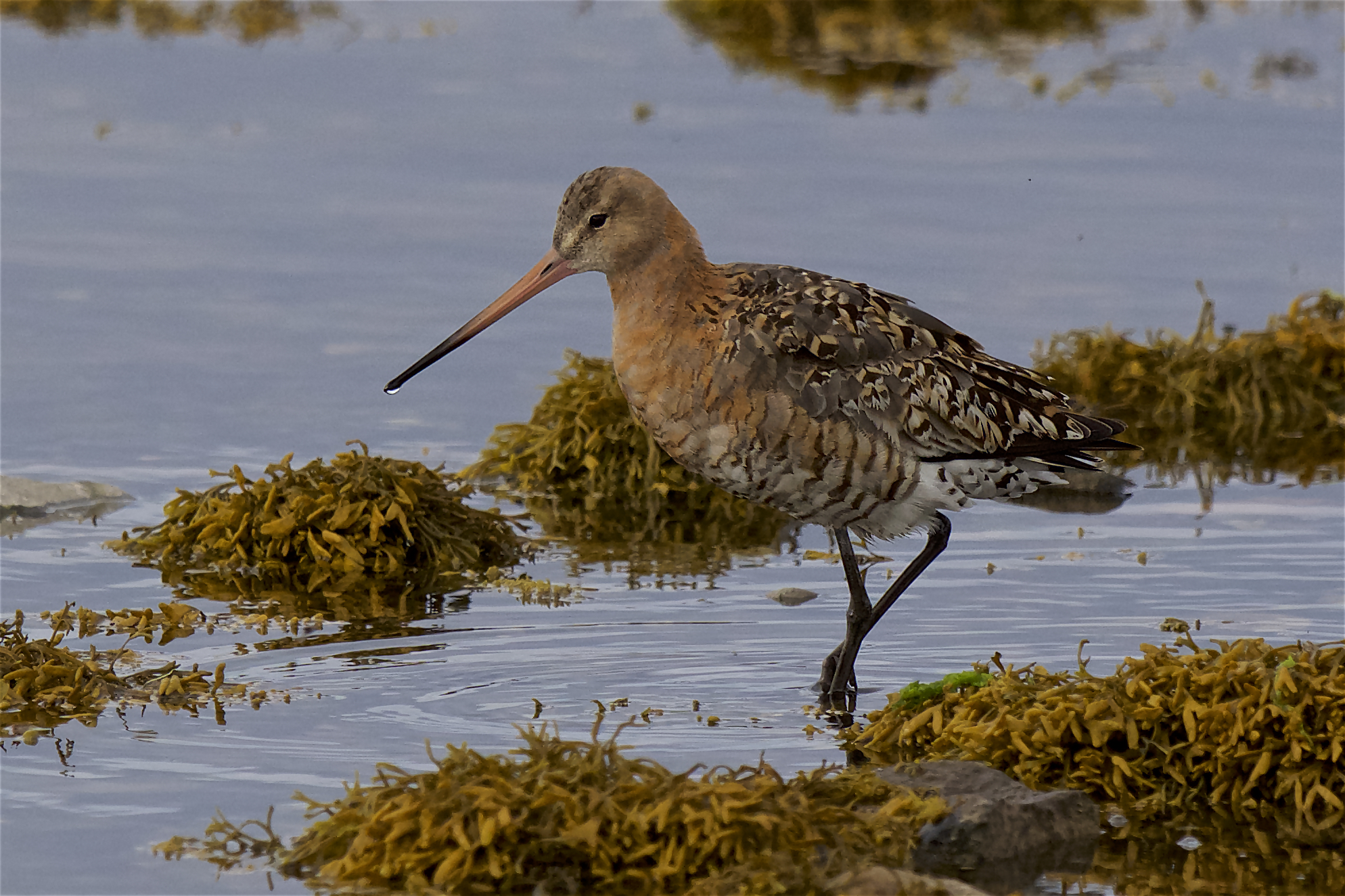 Black-tailed Godwit (Peter Christian)