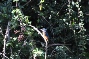 Kingfisher (Mary)