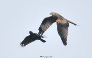 Red Kite (Brian Liggins)