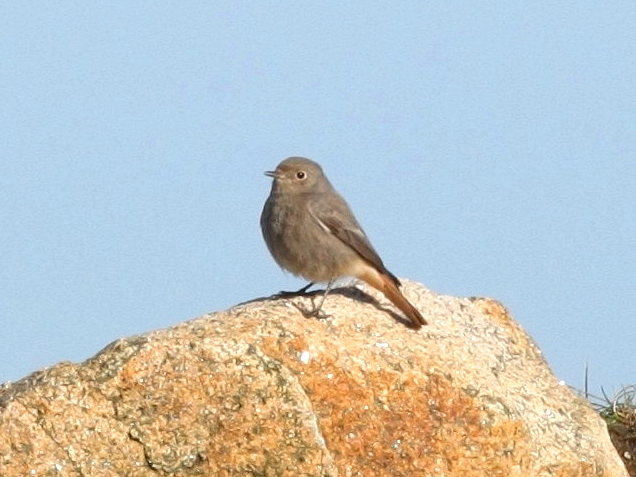 Black Redstart (Dave King)