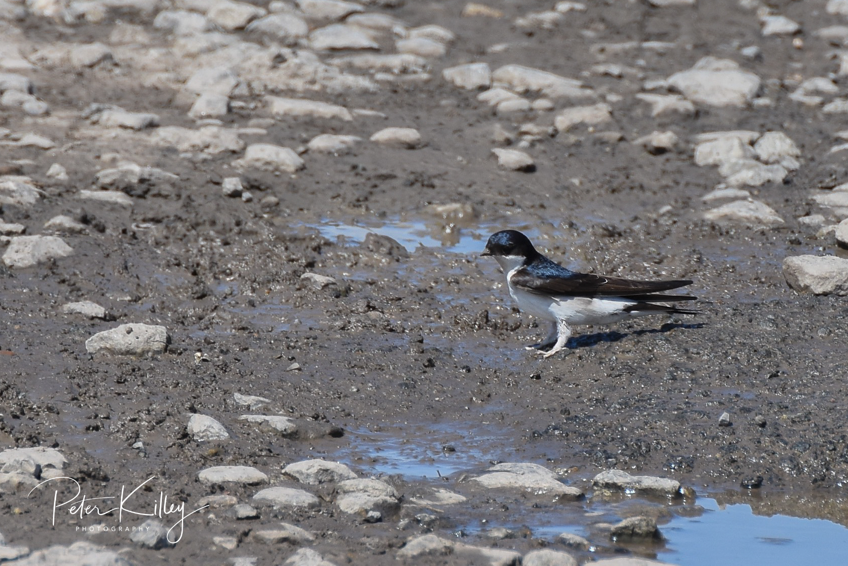 House Martin (Peter Killey)