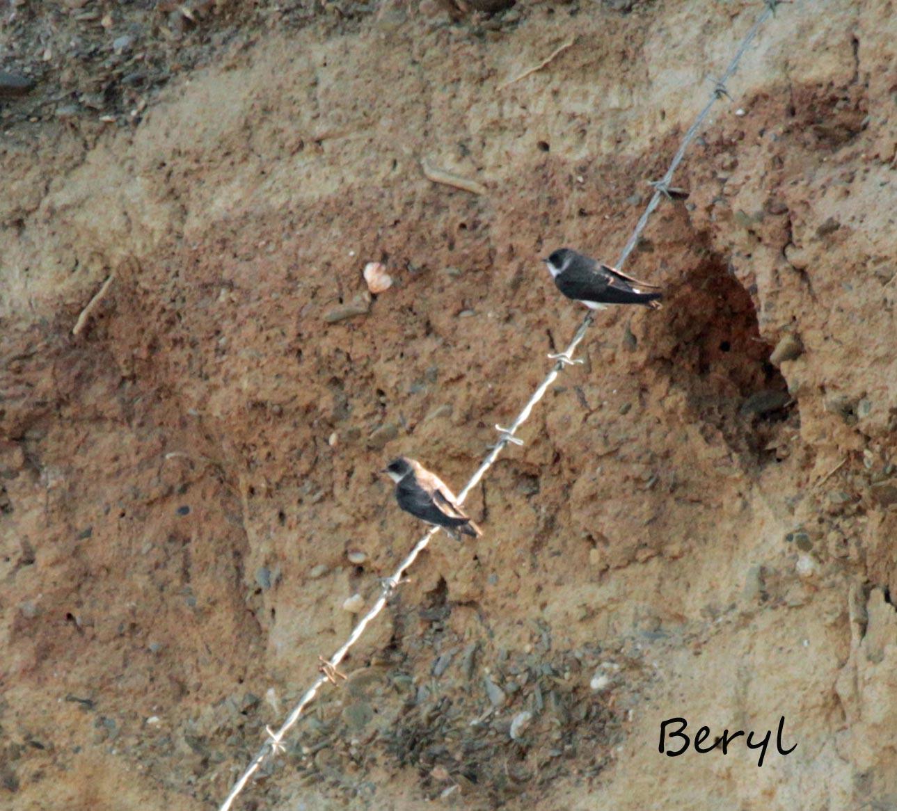 Sand Martins (Beryl Quayle)
