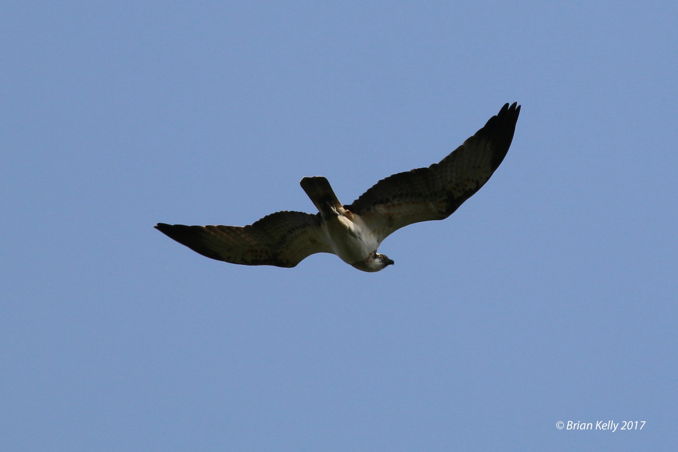 Osprey (Brian Kelly)