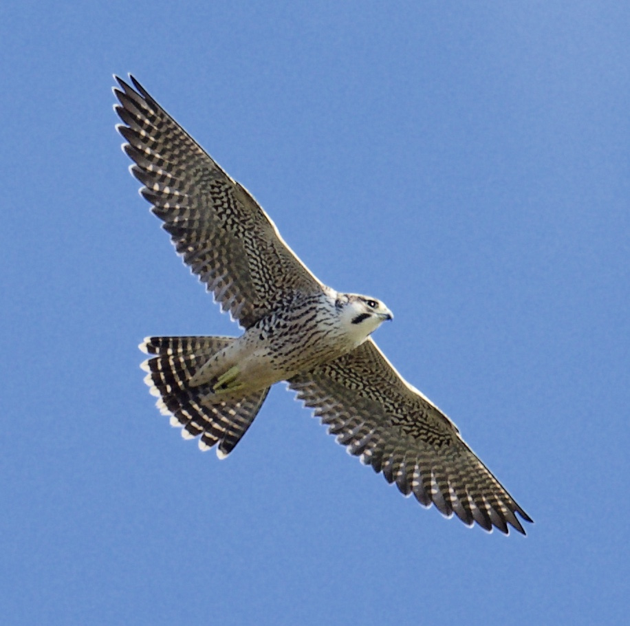 Peregrine (Michael Coupe)