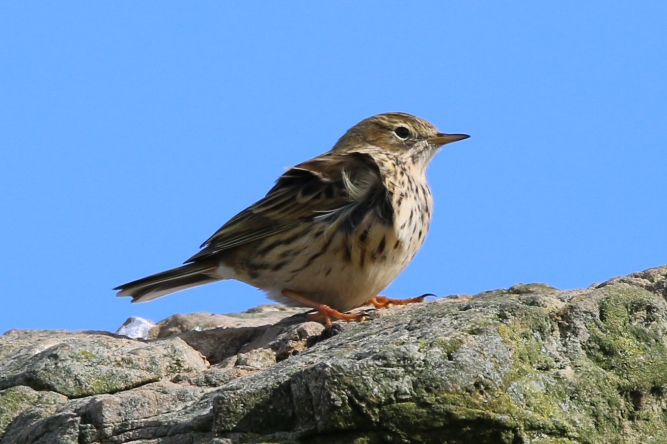 Meadow Pipit (Brian Kelly)